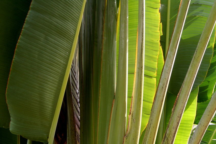 2007 Dominican Republic Dominicus Beach Banana Leaf Banana Tree Close-up Day Full Frame Shot Green Color Growth Leaf Nature No People Outdoors Palm Leaf