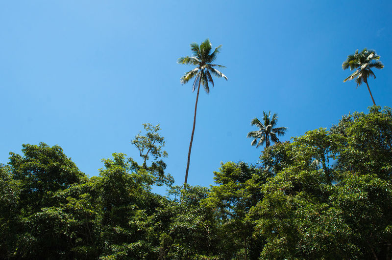 View From Below Beauty In Nature Blue Clear Sky Coconut Palm Tree Day Forest Green Color Growth High Low Angle View Nature No People Outdoors Palm Tree Palm Trees Plant Sky Sunlight Tall - High Tranquil Scene Tranquility Tree Tropical Climate