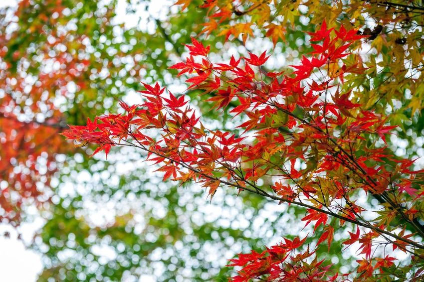 Yellow and red Japanese maple leaves during autumn at Sekizan Zen-in Temple in Kyoto, Japan Autumn Leaf Maple Tree Maple Leaf Tree Branch Red Outdoors Tranquility Maple Japan Kyoto Fall Season  Nature