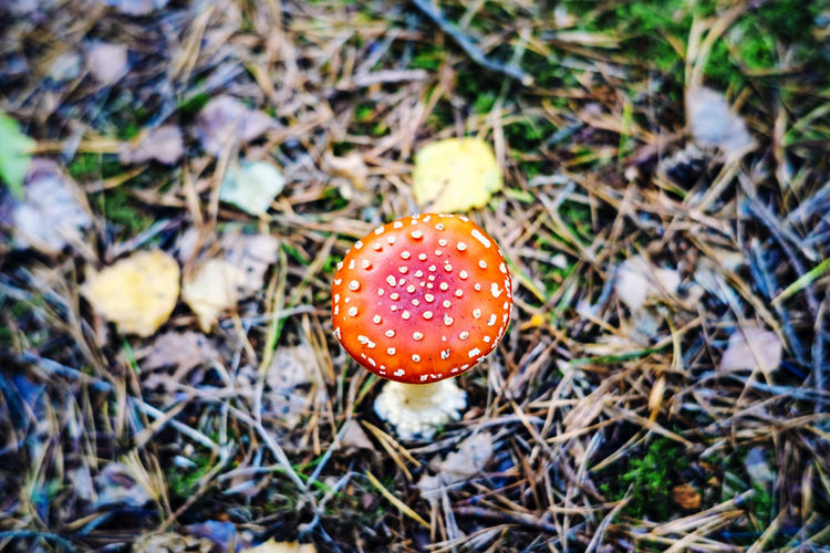 High angle view of fly agaric mushroom on field