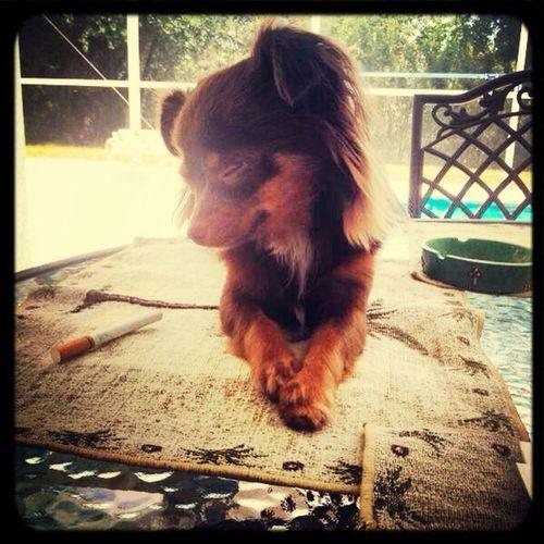 Best puppy everr<33 Chiuaua Mochachino Cutie My Son
