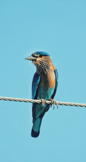 Indian roller Bird Eye EyeEm Best Shots EyeEmNewHere EyeEm Birds EyeEm Bird Lover  Eyeem Birdphotography Eyeem Bird Eyeem Birds Lover Eyeem Birds 🐦 EyEem Bird Photography. Indian Roller Bird Perching Clear Sky Blue Full Length Animal Themes Close-up Beak Blue Background Hanging