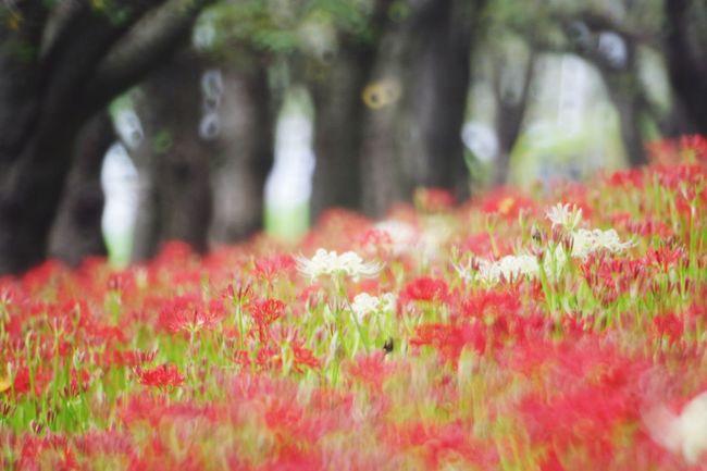 今年は少し遅目かな? Pentaxk3 権現堂堤 彼岸花 曼珠沙華 Plant Flower Flowering Plant
