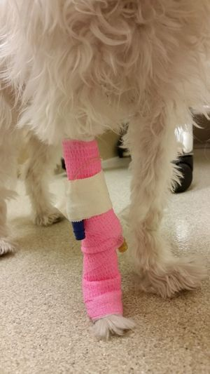 Hot pink cast on a dog leg at the vet office. Poor puppy. Neon Color Dog Dogslife Veterinarian Vets Dog Leg Dog Injury Animal Themes Hurt Animal Injury Animal Body Part Dog Life Sick CAST Tubes IV Furry Friends Injured Pets Pet Photography  Pets Corner Veterinary Doctors Office