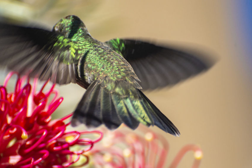 My friend the hummingbird. EyeEm Selects EyeEm Gallery EyeEmNewHere Animal Animal Themes Animal Wildlife Animals In The Wild Beauty In Nature Bird Close-up Day Flapping Flower Flower Head Flowering Plant Flying Fragility Hummingbird Nature No People One Animal Plant Selective Focus Spread Wings Vertebrate