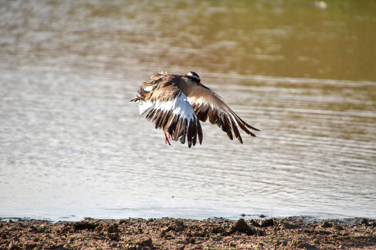 Africa Kenya Animal Themes Wildlife Bird One Animal Spread Wings Flying Water No People Day Nature Motion Animals In The Wild Animal Outdoors Animal Wildlife Mid-air Focus On Foreground Full Length