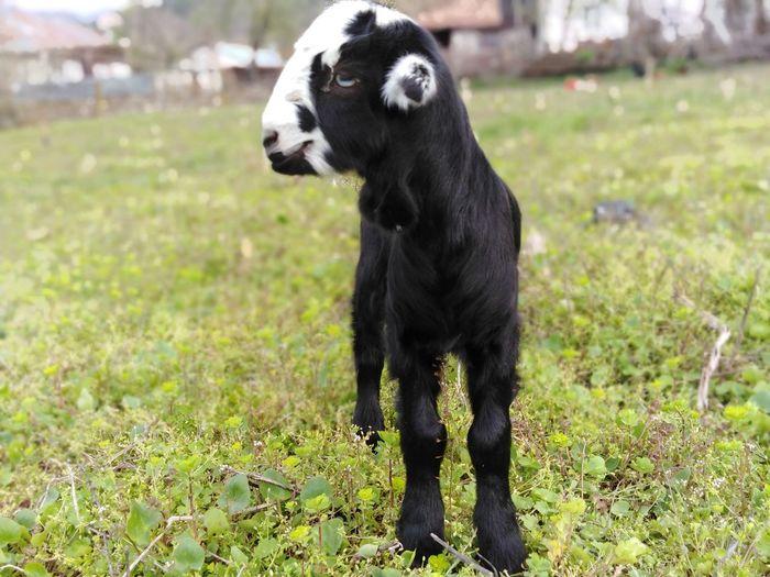 Sheep Sheep Pets Portrait Dog Black Color Grass Close-up Labrador Retriever Stick - Plant Part Carrying In Mouth