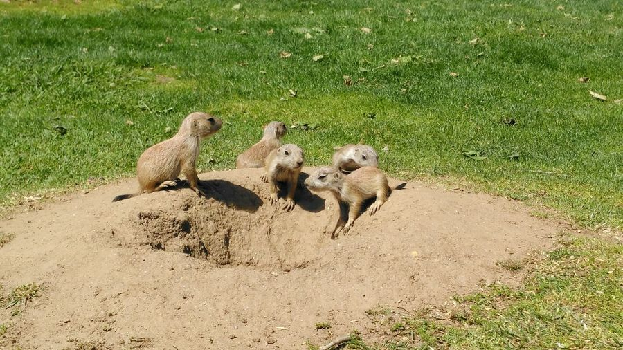 EyeEm Diversity Animals In The Wild Animal Themes Day Animal Wildlife Sunlight Nature High Angle View Sand Mammal Outdoors No People Green Color Shadow Meerkat Young Animal Grass No Filter, No Edit, Just Photography Caodapradaria