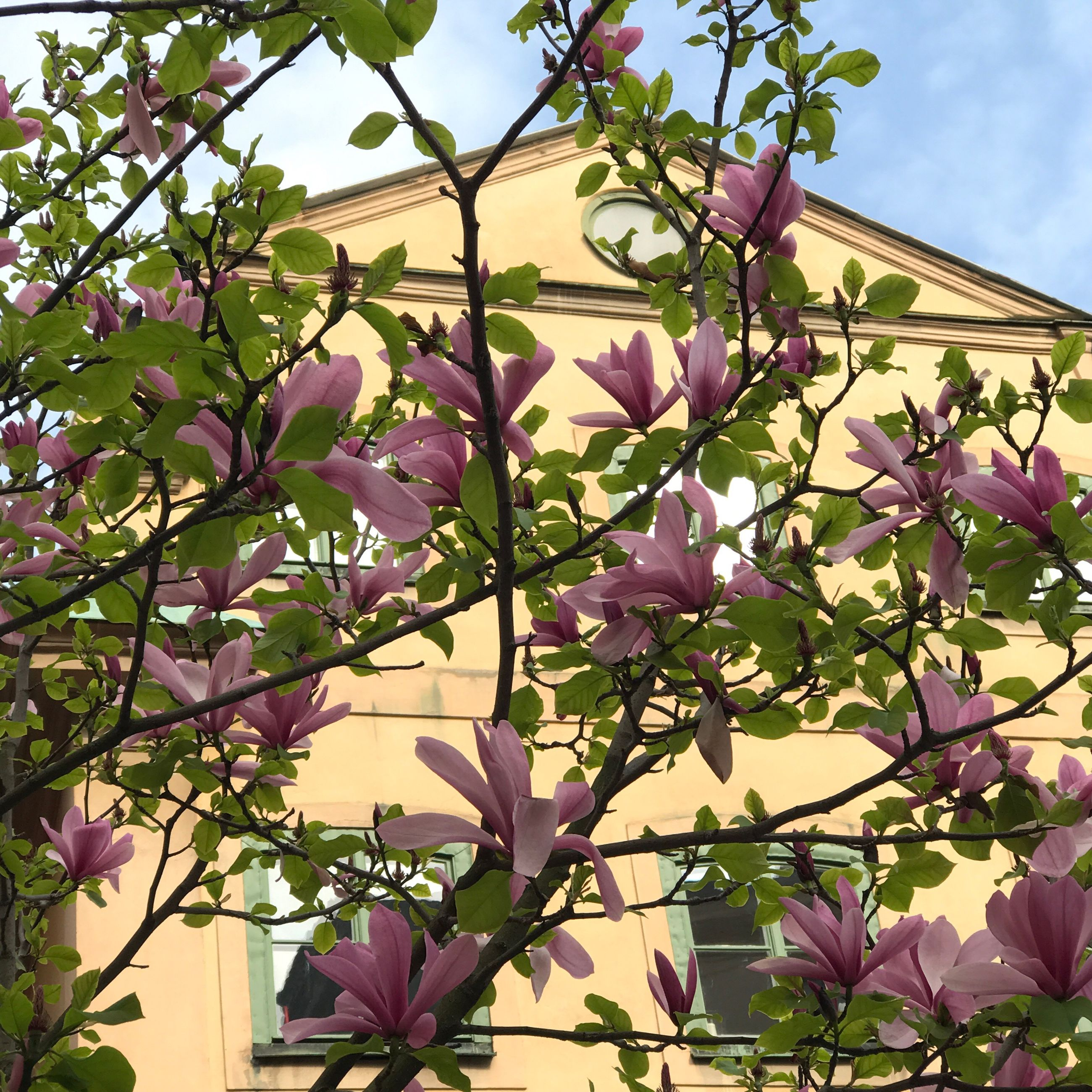 flower, growth, low angle view, nature, petal, pink color, purple, plant, tree, no people, fragility, beauty in nature, outdoors, day, branch, sky, freshness, architecture, blooming, building exterior, built structure, bougainvillea, close-up, flower head