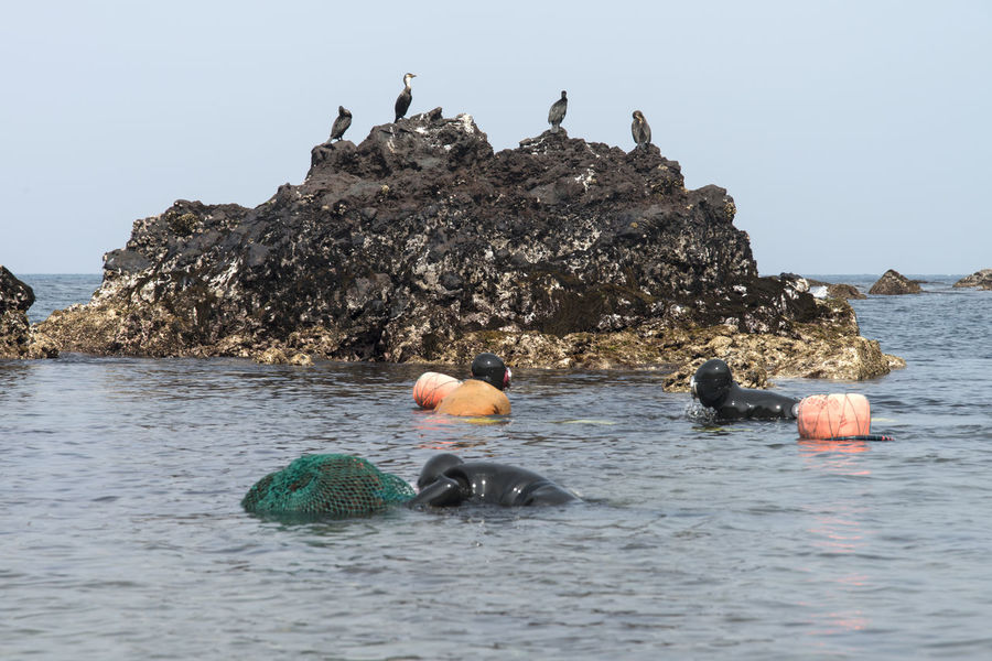 haenyeo who is a female diver picking up sea weed and sea food Beach Beauty In Nature Bird Clear Sky Cormorant  Day Female Diving Duck Flamingo Haenyeo JEJU ISLAND  Mammal Nature No People Outdoors Pelican Perching Rock - Object Sea Seaside Sky Water