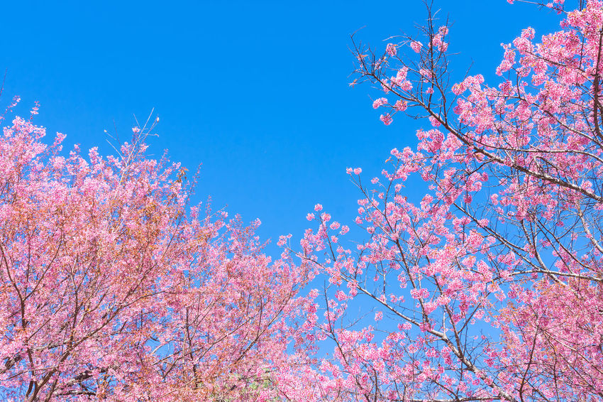 Sakura Beauty In Nature Blossom Blue Branch Cherry Blossom Cherry Tree Flower Flowering Plant Fragility Freshness Growth Low Angle View Nature Outdoors Pastel Pink Color Plant Sakura Blossom Sky Spring Springtime Tree