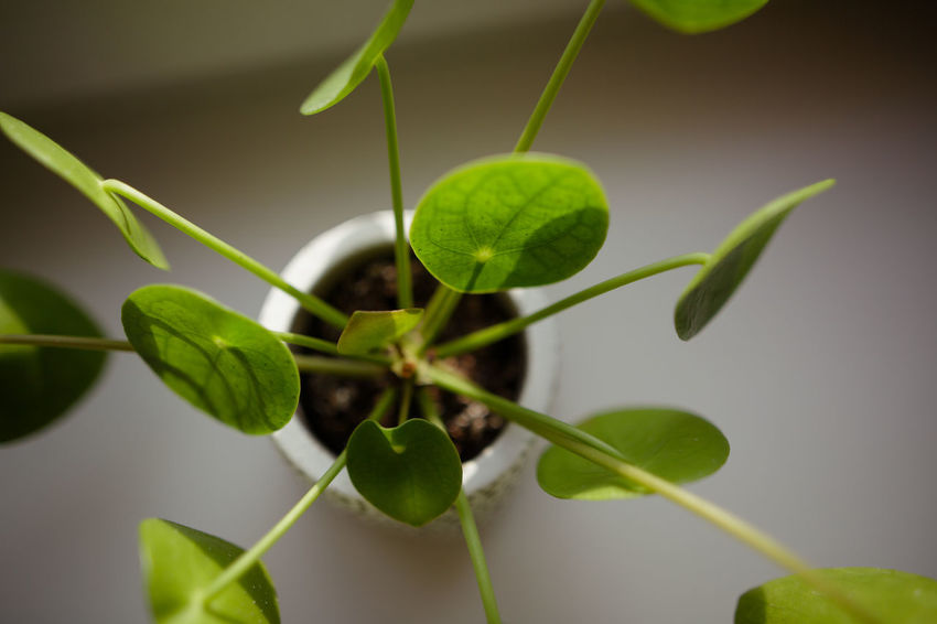 Green Color Pilea Peperomioides Succulents Chinese Money Plant Close-up Evergreen Focus On Foreground Fragility Leaf Leaf Vein Leaves Lefse Plant Missionary Plant Pancake Plant Perennial Plants Succulent Plant Window Sill