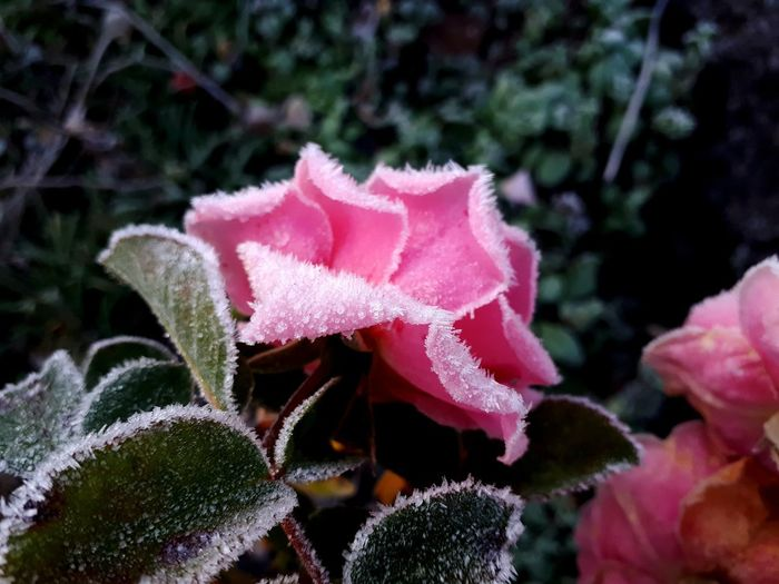 Frost Icy Frosty Nature Crystal Icecrystals Pink Color Pink Dark Green Green Color Cold Temperature Cold Flower Head Flower Pink Color Close-up Plant Blooming In Bloom Plant Life Blossom Single Rose Botany Wild Rose This Is Natural Beauty