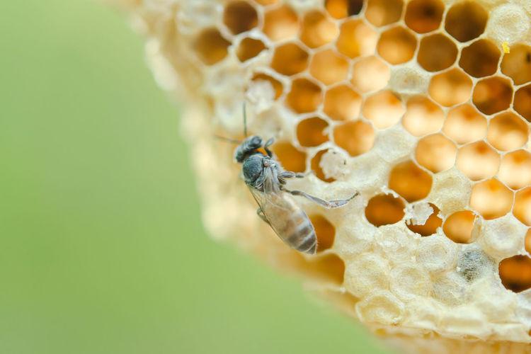 Macro of working bees on honeycomb, background hexagon texture,