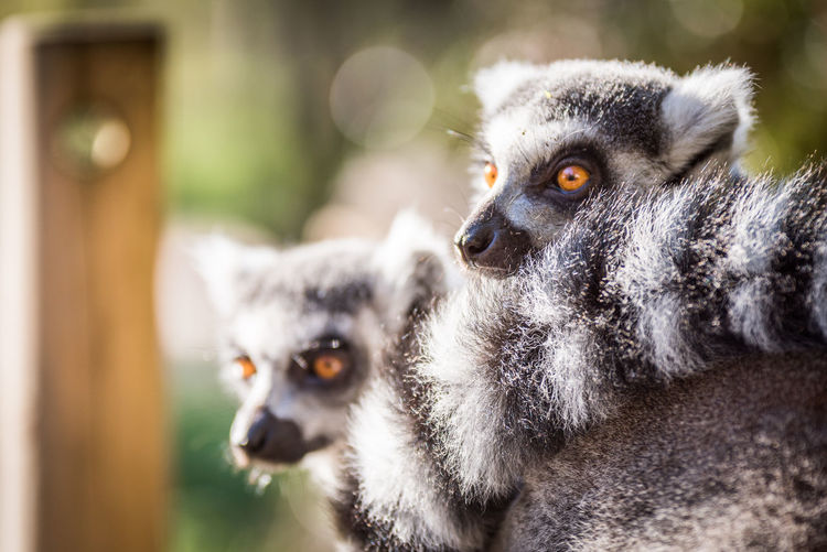 Close-up portrait of ring-tailed lemurs