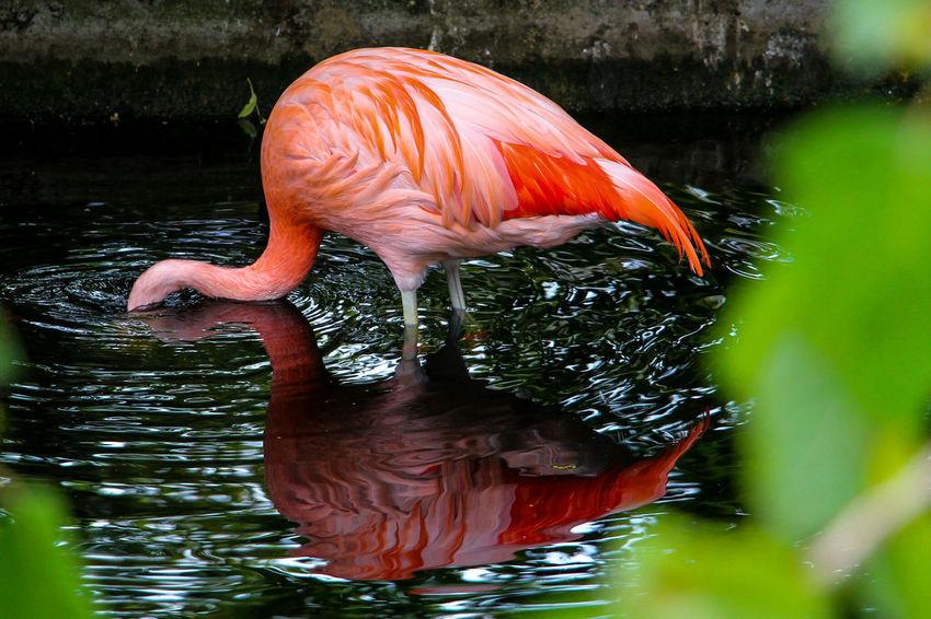 A pink flamingo at Zoo De La Flèche France Water Swimming Reflection Lake Animal Themes Nature Outdoors Day Zoo Flamingo 3XSPUnity Fresh On Eyeem  Animals EyeEmNewHere