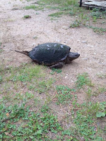 Mama snapping turtle immediately after laying her eggs