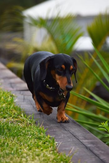 Black dog walking in domestic garden
