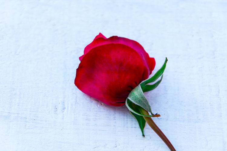 red rose on