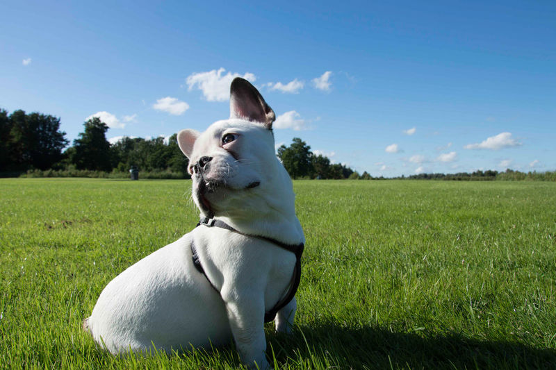 Beautiful EyeEmNewHere Field Animal Themes Animals Blue Sky Docile Dog Frenchbulldog Mama White Color Stories From The City