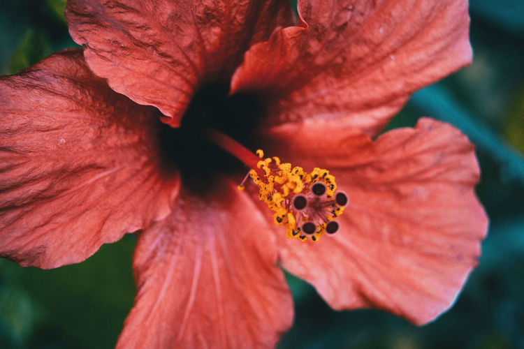 Beauty In Nature Close-up Day Flower Flower Head Flowering Plant Focus On Foreground Fragility Freshness Growth Hibiscus Inflorescence Nature No People Petal Plant Pollen Red Stamen Vulnerability