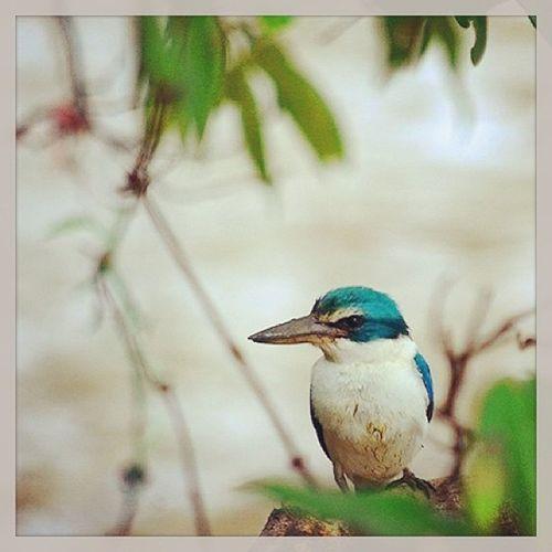 นกกระเต็น @ดอนหอยหลอด ป่าโกงกาง