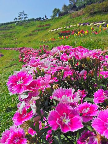 Flower Pink Color Nature Beauty In Nature Outdoors Landscape No People Plant Field Day Grass Flower Head Green Color Scenics Rural Scene Multi Colored Sky Freshness Close-up