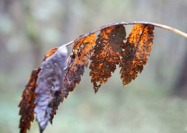 Discoloured autumn leaves on a thin branch, excepted against blurred background Autumn Autumn Background Beauty In Nature Blurry Catkin Change Close-up Day Discolored Dry Focus On Foreground Fragility Growth Leaf Leaves Nature No People Outdoors Plant Tranquility