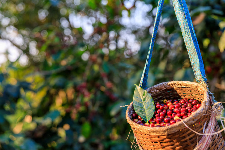Red coffee beans in basket and natural farm background selective focus