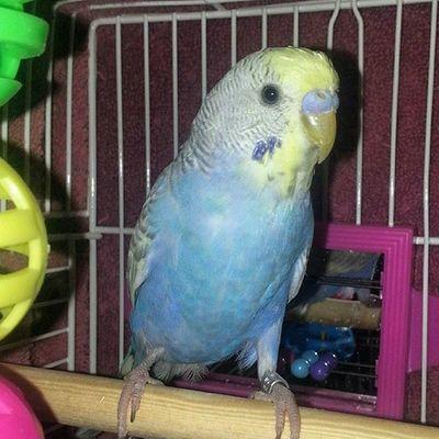 Say hello to Bob Bird Birdstagram Birds Budgie Budgies Budgiesofinstagram Parakeet Keet Blue Boy Sweet Seeds Birdy CoC Instabird Instabirds Like4like Follow4follow Nofilter Instagood Cute