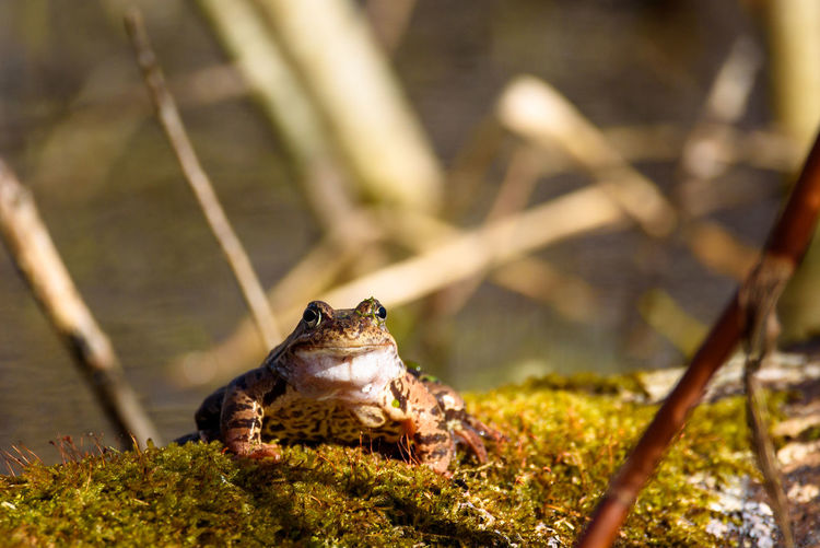 European common frog (Rana temporaria) on moss covered tree trunk. European Common Frog EyeEm Nature Lover Frog Moss On Tree Sunny Amphibian Amphibian Animal Animal Animal Themes Animal Wildlife Animals In The Wild Day Nature No People One Animal Rana Temporaria