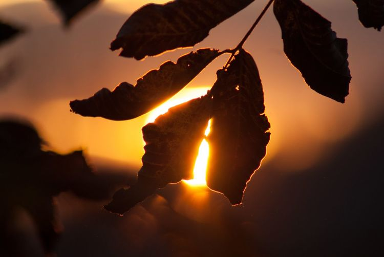 Close-up of silhouette leaf against sky during sunset