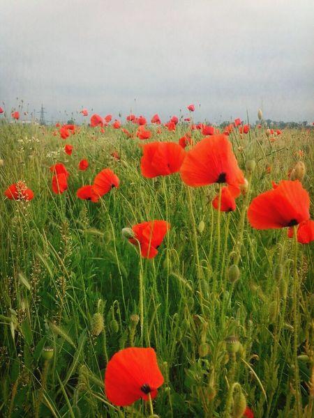 Poppy Flowers Poppy Love Poppy Field