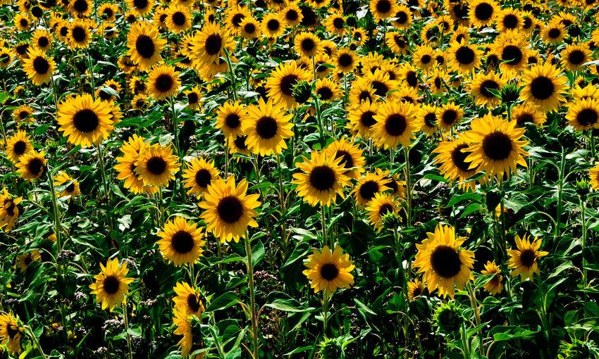 Full frame shot of sunflower field