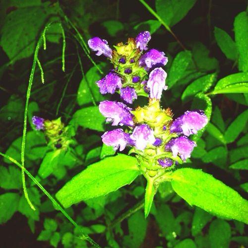 初夏の 長野市 戸隠 森林植物園での「ウツボグサ」です!季節外れで申し訳ありません。japan nakano prefecture togakushi Flower Summer Park Pprunellavulgaris 戸隠 夏 ウツボグサ