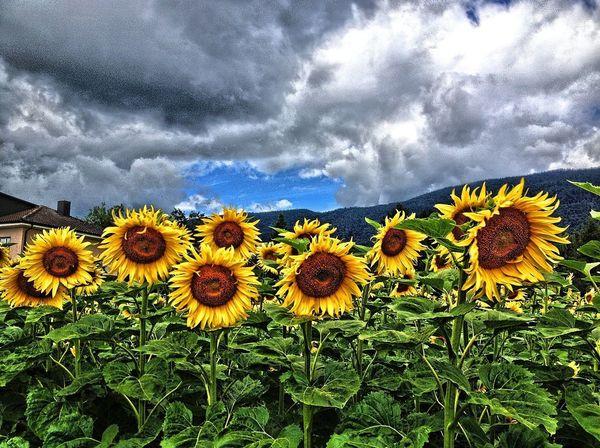 sunflowers Sunflower Sonnenblume