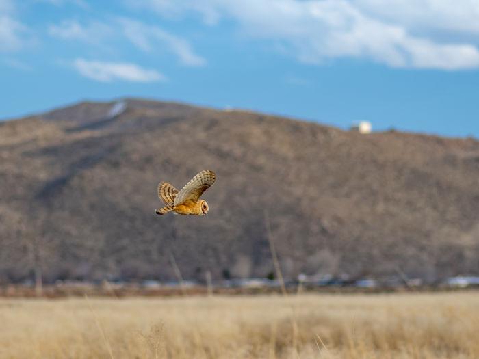 Barn owl tyto alba flying in a desert landscape.