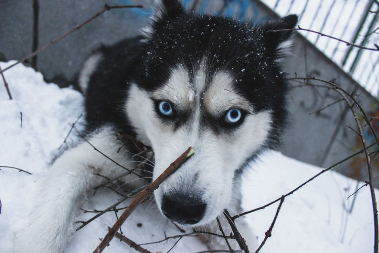 Husky with blue eyes playing in the snow Blue Eyes FUNNY ANIMALS Husky Puppy Husky ♡ Snow ❄ Winter Animal Body Part Close-up Cold Temperature Day Domestic Domestic Animals Focus On Foreground Husky Looking At Camera Mammal No People One Animal Pets Portrait Snow Vertebrate Whisker Winter Yellow Eyes