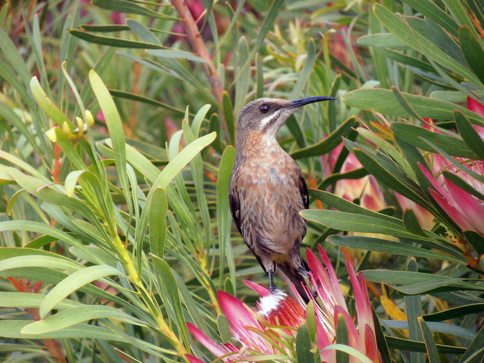 Cape Sugarbird perched on a Protea. Sugarbird Bird Bird Photography Birds Of EyeEm  One Animal Plant Animal Themes Nature Animals In The Wild No People Close-up Beauty In Nature Proteas Plant Botany Port Elizabeth South Africa EyeEmBirds