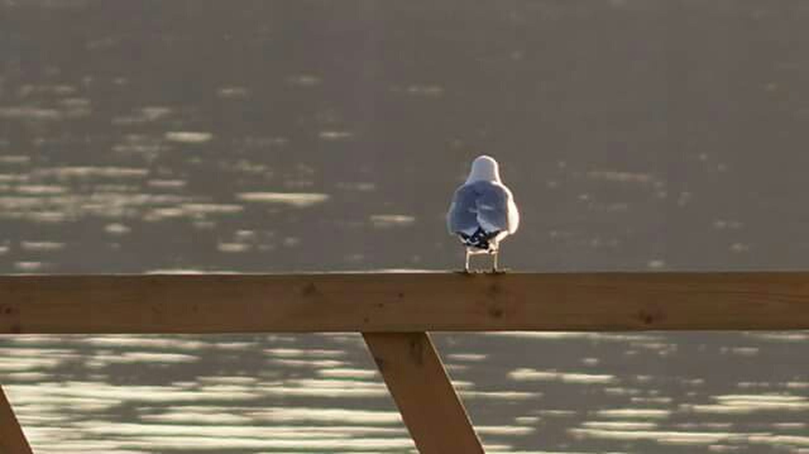 bird, one animal, animal themes, animals in the wild, perching, wildlife, water, focus on foreground, railing, full length, seagull, wood - material, day, side view, nature, outdoors, close-up, rear view, no people, beak