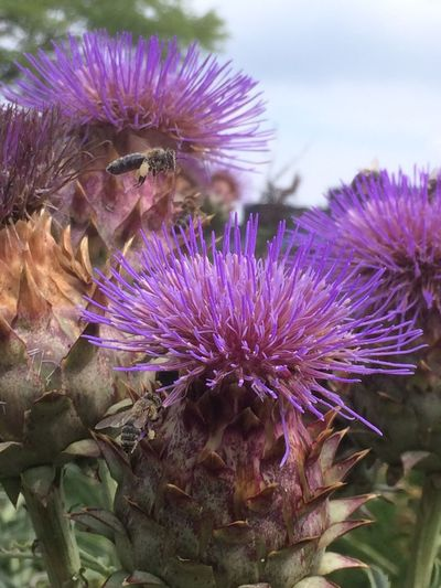 Purple Flower Nature Beauty In Nature Fragility Animal Themes Growth Animals In The Wild Petal Flower Head Insect No People Thistle Close-up Plant Day One Animal Freshness Blooming Outdoors Bee EyeEm Nature Lover The Week On EyeEm Beauty In Nature Purple Flowers
