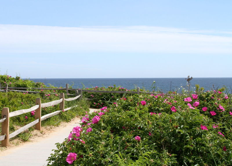 Beach Beauty In Nature Cape Cod Day Flower Growth Horizon Over Water Nature No People Ocean Outdoors Pink Color Plant Rosé Scenics Sea Sky Summer Tourism Tranquility Travel Destinations Vacations Water Wildflowers