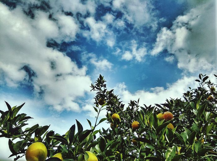 小田原市江之浦 ミカンと空 Sky And Trees