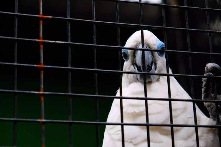Blue White Bird Prison Bird Cockatoo Confined Space Prisoner Trapped Law Cage Parrot Animals In Captivity Prison Bars Tropical Bird Macaw Zoo Wire Mesh Captivity Beak