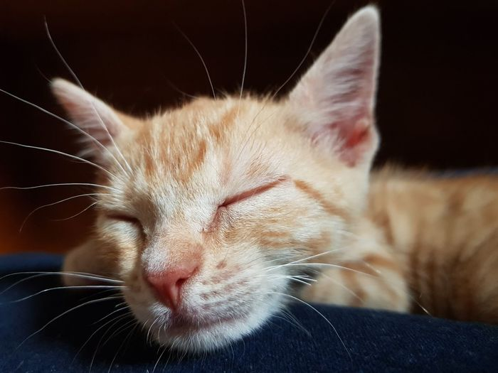 sleep little one Whisker Sitting Looking At Camera Close-up Animal Nose Animal Face Animal Head  At Home Adult Animal Animal Hair Cat HEAD Ear Animal Ear Animal Mouth Animal Body Part Tabby Cat Animal Tongue