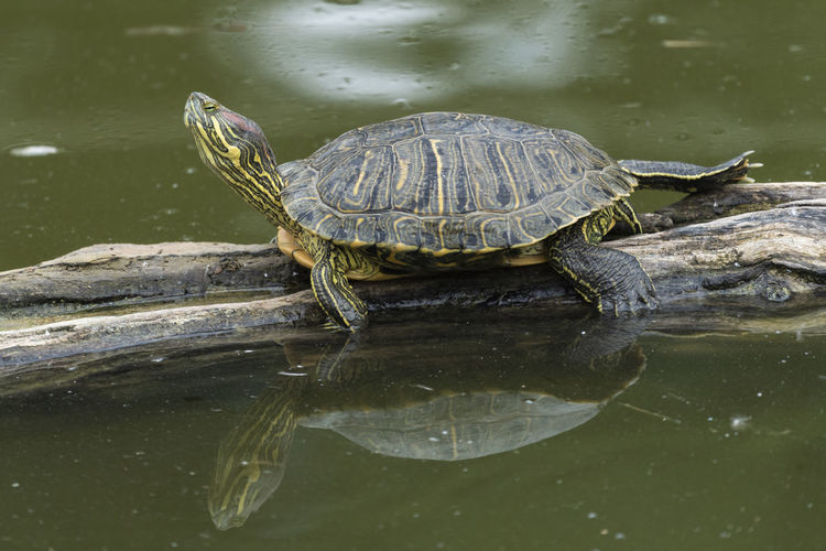 Turtle in a lake