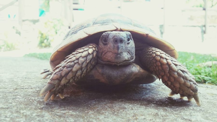 😁😁😁🍀🍀🐢🐢 Tortoiselife Tortoiselove Tortoiselover Tortoises Tortoiseshell Cute Tortoiselovers Animal Turtles Tortoisepose Babytortoise Beautiful Good Nice Picoftheday Work Sun Shot View Selfie ✌ EyeEmNewHere Eyem Gallery Eyem Eyemphotography Tortoise Shell Portrait Reptile Close-up Tortoise Turtle