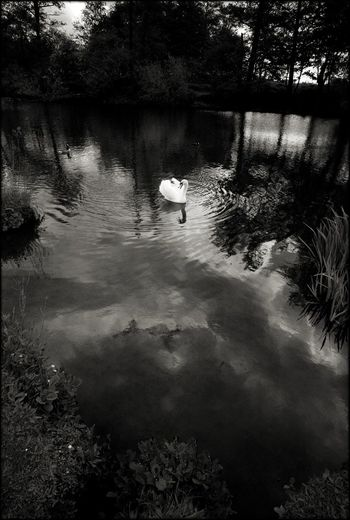 Swan In The Lake Monochrome