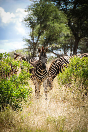 Kruger Park Animal Themes Animal Wildlife Animals In The Wild Beauty In Nature Day Grass Mammal Nature No People One Animal Outdoors Safari Safari Animals Sky Striped Tree Zebra