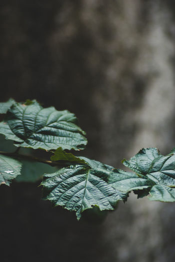 leaves Beauty In Nature Close-up Day Focus On Foreground Food Fragility Freshness Green Color Growth Leaf Leaf Vein Leaves Nature No People Outdoors Plant Plant Part Selective Focus Tree Vulnerability